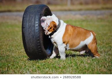 english-bulldog-playing-car-tyre-260nw-268928588.jpg